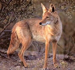 Biology Professor discusses Foxes and Coyotes - An Afternoon with Friends of Thorn Creek Woods