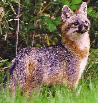 Foxes and Coyotes – An Afternoon with Friends of Thorn Creek Woods