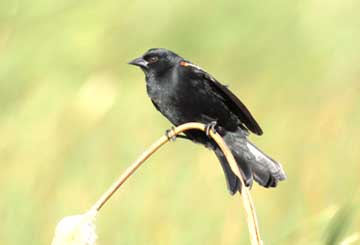 Blackbird, Red-winged