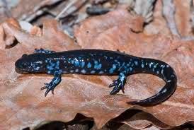 Blue-spotted-salamander