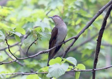 Cuckoo, Black-billed