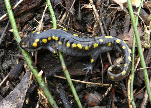 Thorn-Creek-Woods-Salamander-4-John-Skager-4-2014