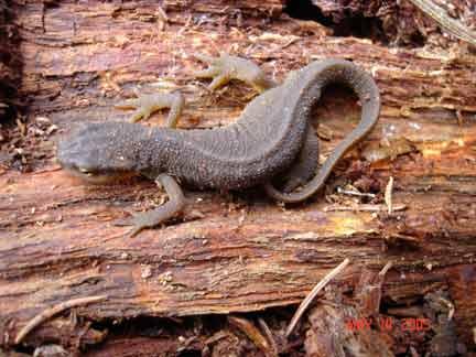 salamander-thorn-creek-woods